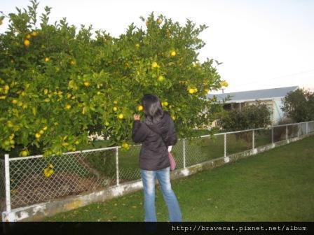 IMG_3250 Motueka - Christo對路邊的檸檬樹很好奇(Saxon St).JPG