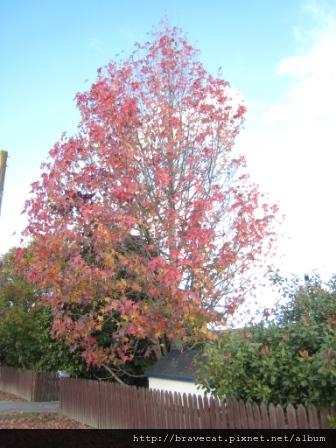 IMG_0187 Packhouse - 還記得那棵轉紅的楓樹嗎,在結束這天葉子已掉了一半.JPG