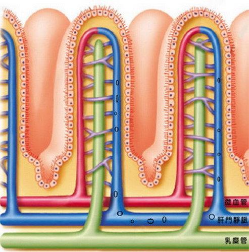 小腸絨毛放大圖