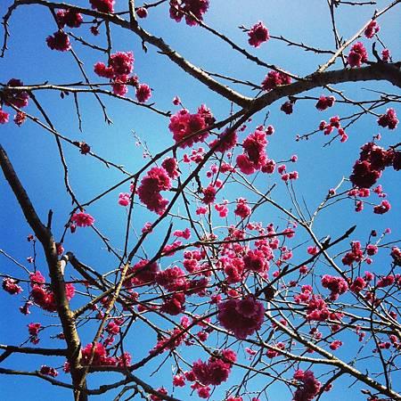 Cherry Tree Bloosm