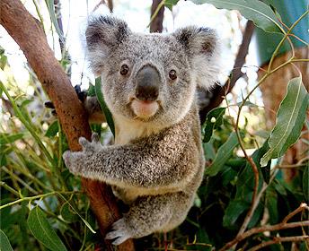 koala.3.jpg