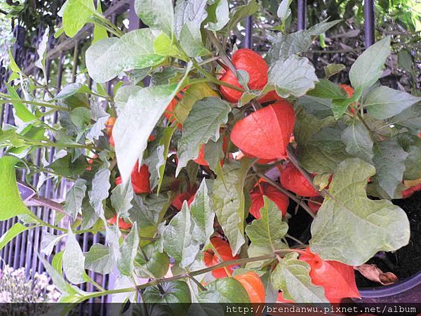 四片橘色薄薄的花萼包覆著像一個心型小果子,法文Physalis又叫燈籠果。