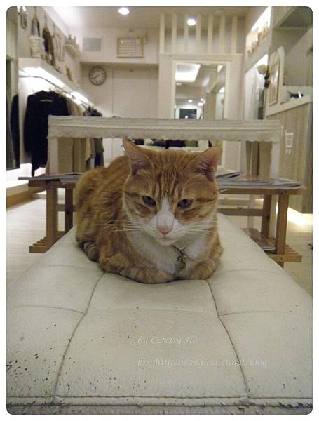 桃園某間小店的貓