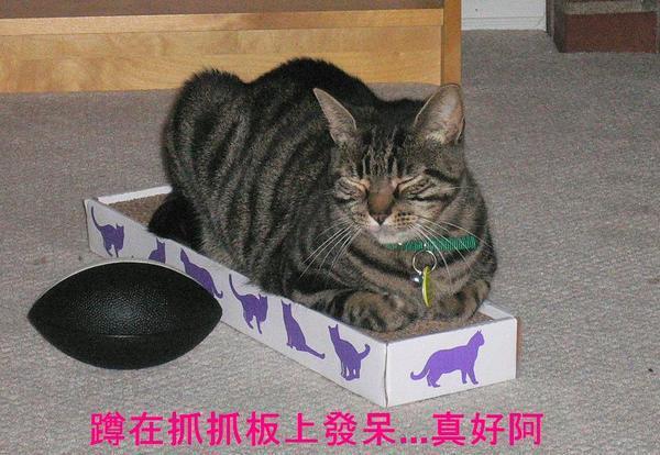 在抓抓上發呆的貓.JPG