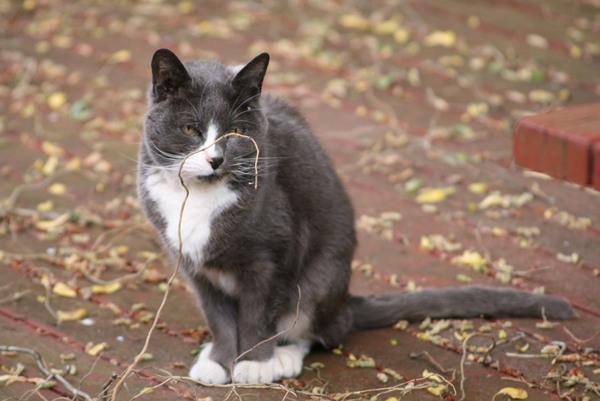 最近在院子裡遊蕩的貓, 沒有項圈但意外的又不像野貓般怕人,