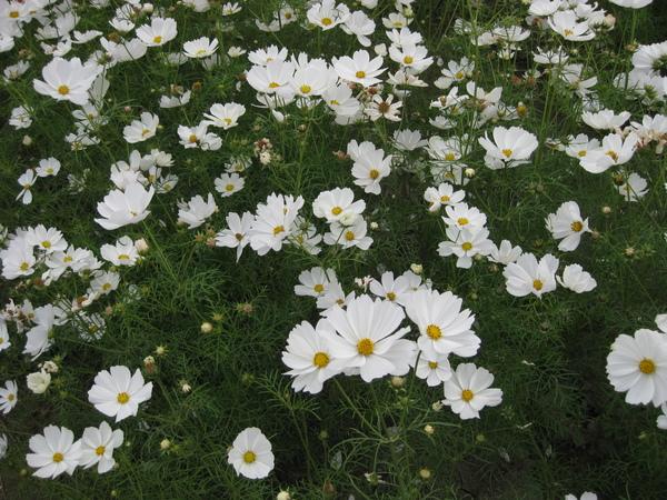 白色的波斯菊
