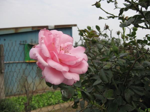 路邊快枯的玫瑰