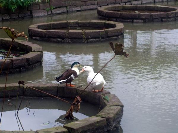 池邊還有一對水鴨,真是生機蓬勃