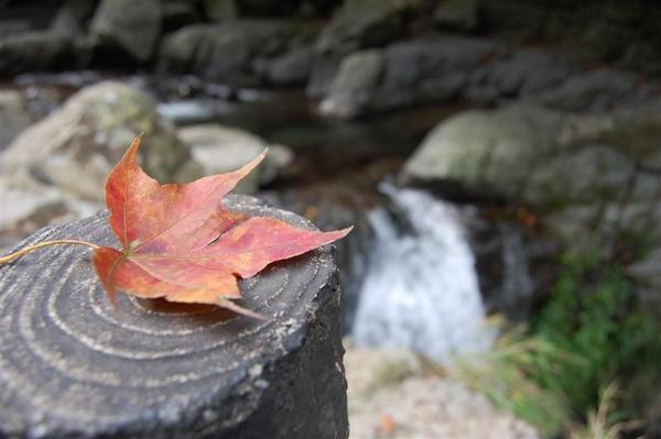 紅楓與後方滿月圓瀑布的瀑頭
