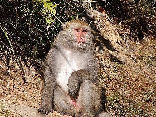 大家所看不到的猴子 這一隻是猴王喔.jpg