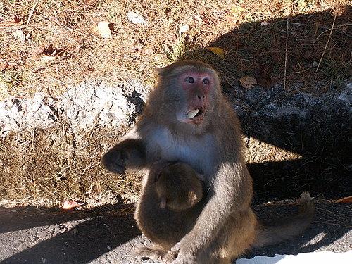 猴母嘴巴吃著東西還不忘保護懷中小猴子.jpg