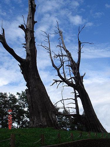 被雷打了N遍的夫妻樹 就像歷經無數次風暴卻又相知相惜的夫婦.jpg