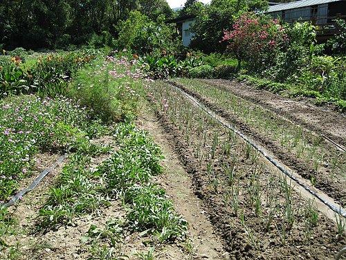 阿嬤種植的菜園1.jpg