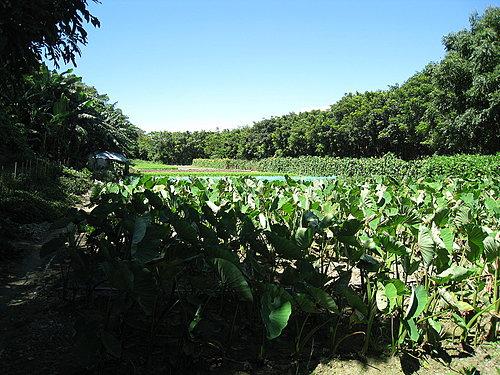 阿嬤種植的菜園2.jpg