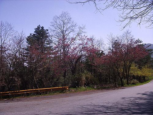 沿途櫻花盛開的美景.jpg