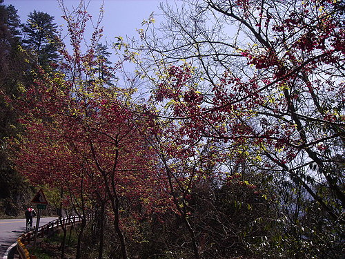 盛開的櫻花.jpg