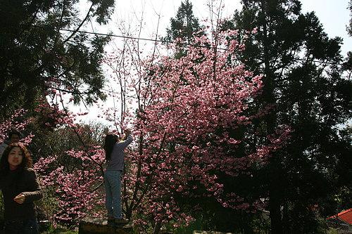 櫻花盛開 大家競相拍照.jpg