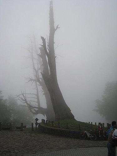 山嵐飄邈中的夫妻樹.jpg