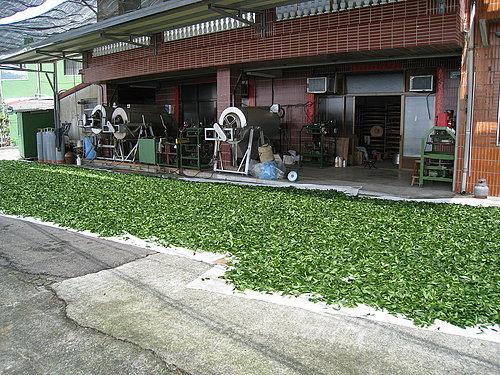 接近碧湖休閒觀光茶園了 路上都可以看到店家在製茶.jpg