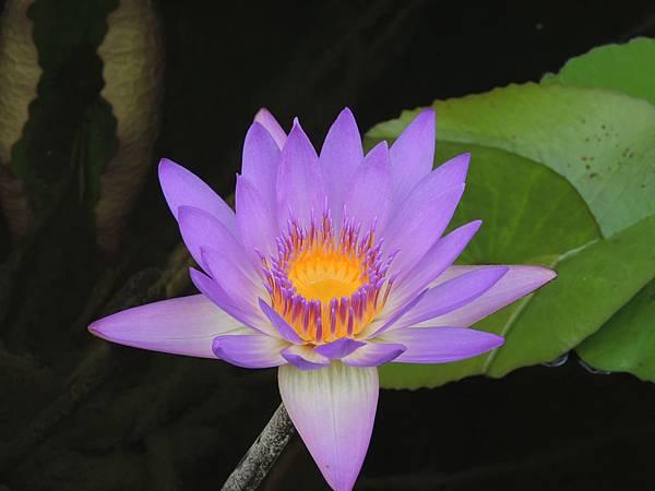 蓮花0.JPG