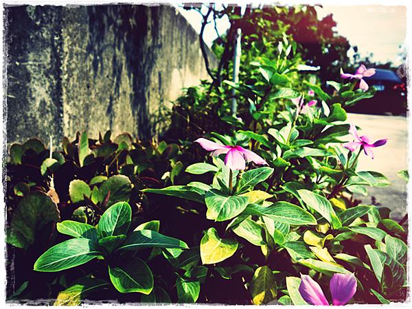 外婆家的另一盆花.