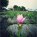 0822  花田裡的花.