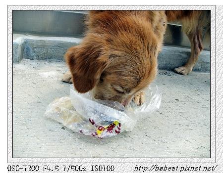 0324流浪黃金獵犬01.jpg