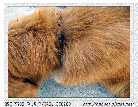 0324流浪黃金獵犬06.jpg