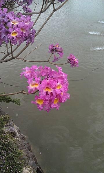 春雨【子善茶園】