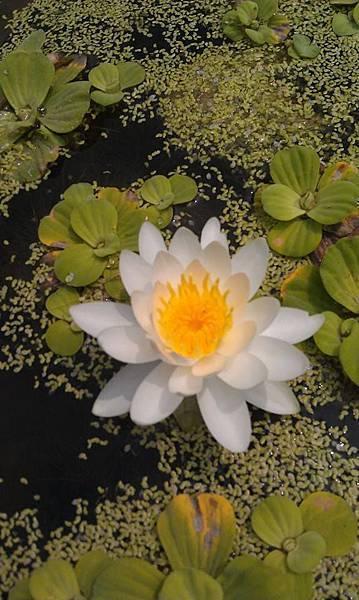 植物園嬌艷的蓮花