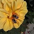 黃色的玫瑰花