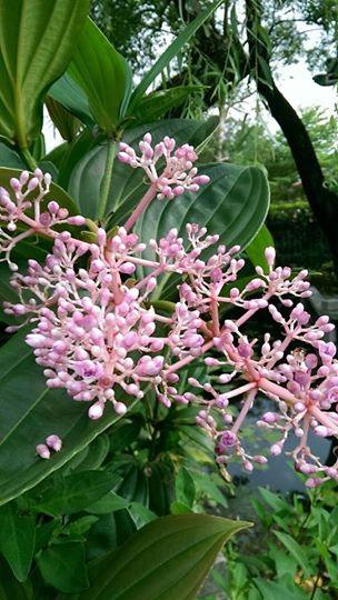 蜜花野牡丹藤
