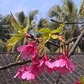 台灣野櫻花