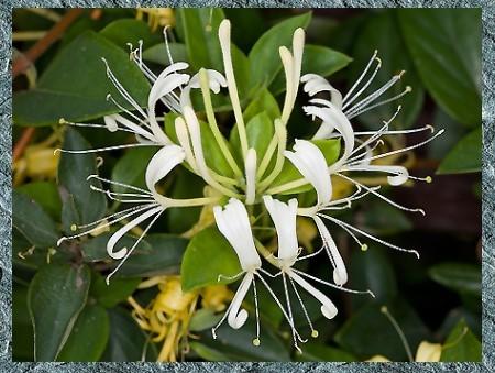 金銀花-原植物