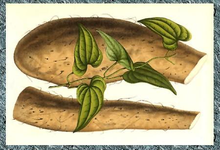 山藥-塊根及葉