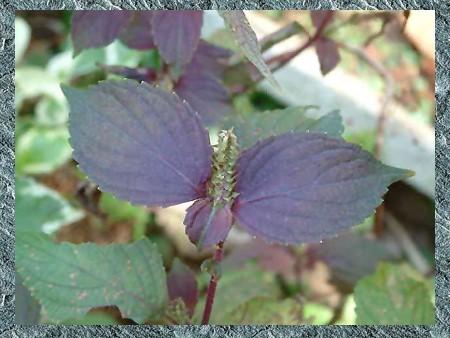 紫蘇-02-S.jpg
