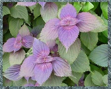 紫蘇-04-S.jpg