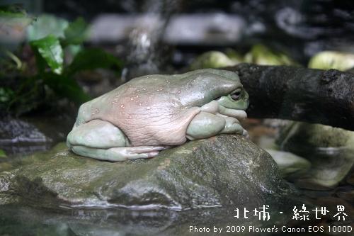 綠世界 - 老爺樹蛙.jpg