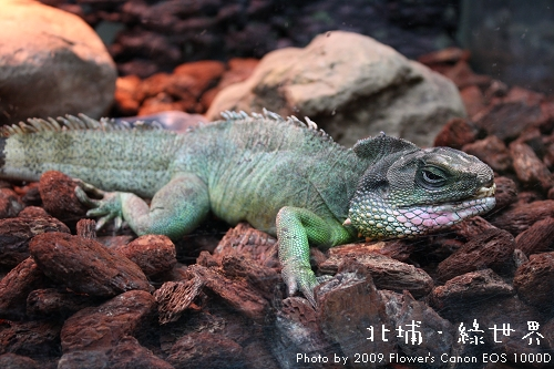 綠世界 - 綠鬣蜥.jpg