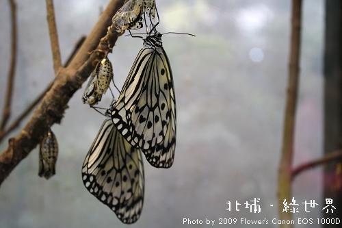 綠世界 - 蝴蝶.jpg