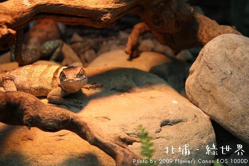 綠世界 - 環頸蜥.jpg