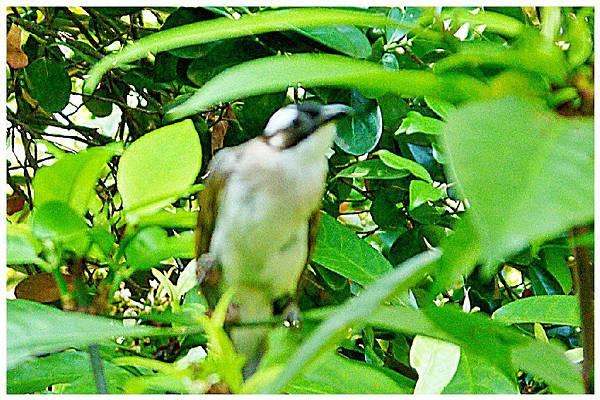 P1320154 白頭翁 嗷嗷待哺 (2)