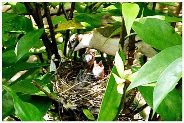 P1320154 白頭翁 嗷嗷待哺 (4)