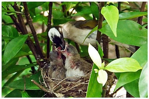 P1320154 白頭翁 嗷嗷待哺 (11)