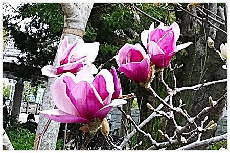 大板公植木市~木蓮 (3)