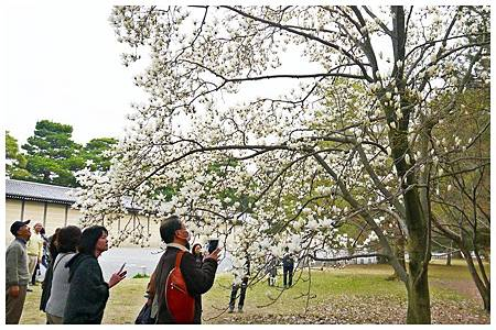 京都御苑~木蓮 (1)