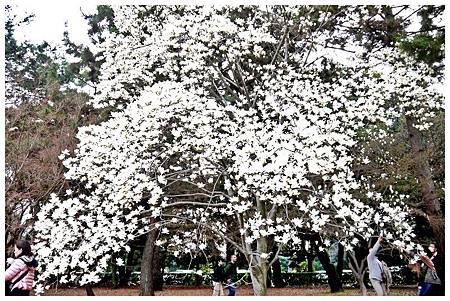 京都御苑~木蓮 (5)
