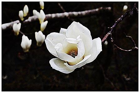 清香雪白~ 木蓮花. (1)