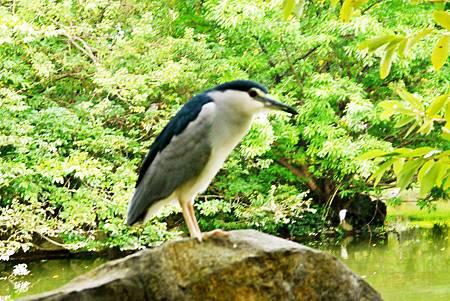 大安森林公園賞鳥趣. (29)