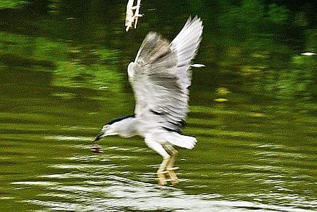 大安森林公園賞鳥趣. (28)